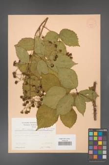 Rubus gliviciensis [KOR 22995]