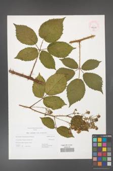 Rubus gliviciensis [KOR 44658]