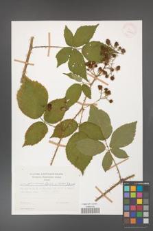 Rubus gliviciensis [KOR 29962]