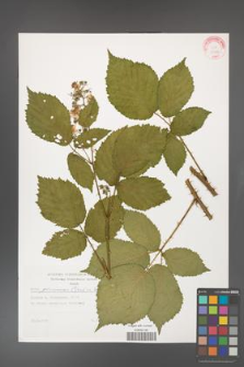 Rubus gliviciensis [KOR 29304]