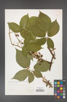 Rubus gliviciensis [KOR 25899]