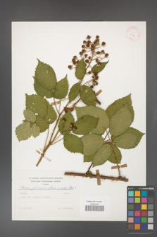 Rubus gliviciensis [KOR 25624]