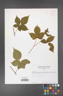 Rubus gothicus [KOR 52056]