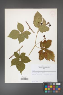 Rubus gothicus [KOR 52643]