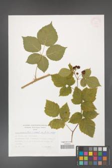 Rubus gothicus [KOR 32431]