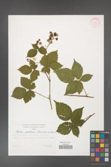 Rubus gothicus [KOR 29398]