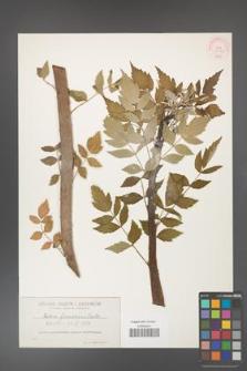 Rubus floscalosus [KOR 36379]