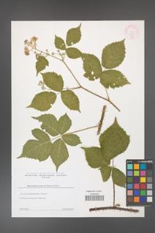 Rubus gothicus [KOR 44352]