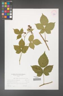 Rubus gothicus [KOR 45956]