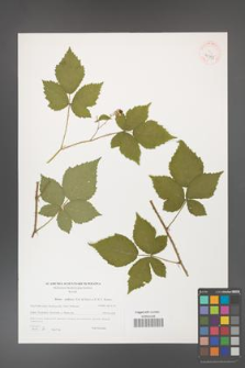 Rubus gothicus [KOR 40595]