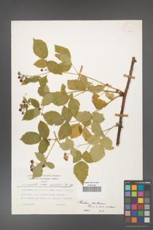 Rubus gothicus [KOR 24965]