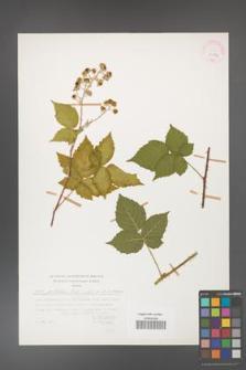 Rubus gothicus [KOR 31556]