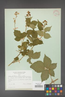 Rubus gothicus [KOR 31962a]