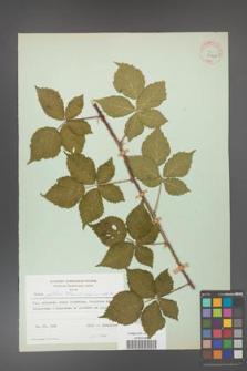 Rubus gothicus [KOR 31961]