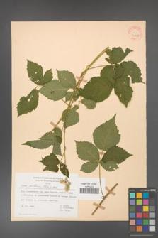 Rubus gothicus [KOR 31962]