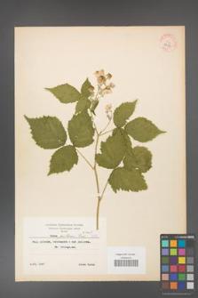 Rubus gothicus [KOR 8357]