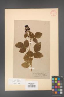 Rubus gothicus [KOR 71]