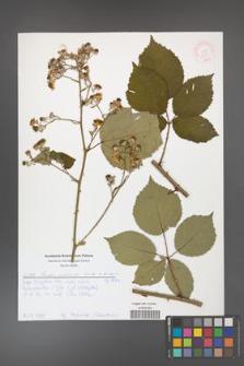 Rubus grabowskii [KOR 51974]