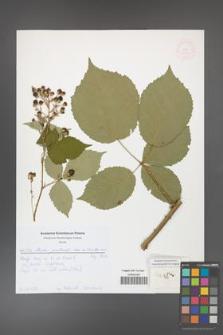 Rubus grabowskii [KOR 52010]