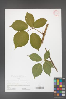 Rubus grabowskii [KOR 44018]