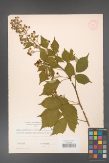 Rubus grabowskii [KOR 7207]