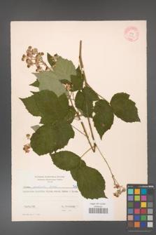 Rubus grabowskii [KOR 7193]