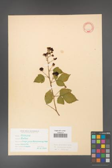 Rubus grabowskii [KOR 11092]