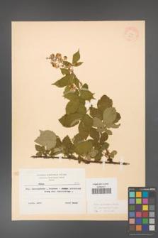 Rubus grabowskii [KOR 8355]