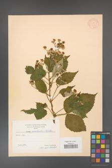 Rubus grabowskii [KOR 11074]