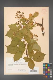 Rubus grabowskii [KOR 8362]