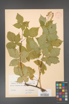 Rubus grabowskii [KOR 8353]