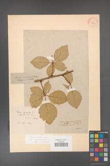 Rubus grabowskii [KOR 11056]