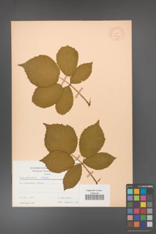 Rubus grabowskii [KOR 11077]