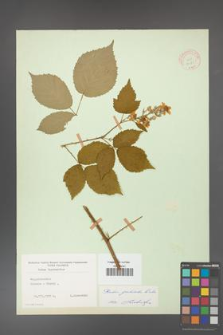 Rubus grabowskii [KOR 11085]
