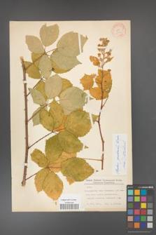 Rubus grabowskii [KOR 11086]