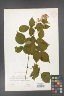 Rubus grabowskii [KOR 6415]