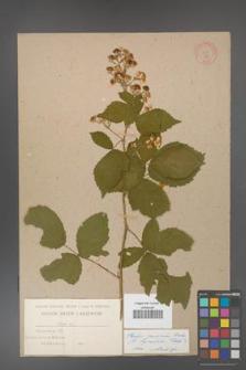 Rubus grabowskii [KOR 477]