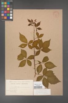 Rubus grabowskii [KOR 483]