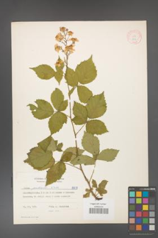 Rubus grabowskii [KOR 8877]