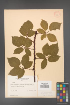 Rubus grabowskii [KOR 11090]
