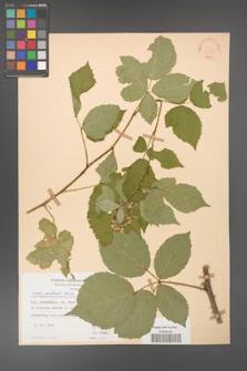 Rubus grabowskii [KOR 22556]