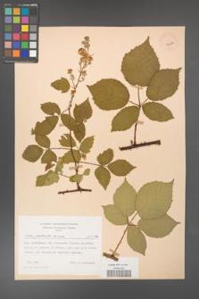 Rubus grabowskii [KOR 43250]