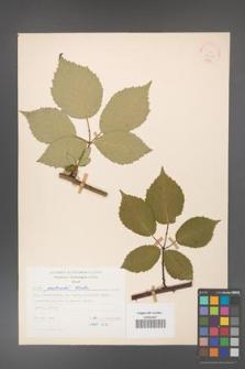 Rubus grabowskii [KOR 22562]