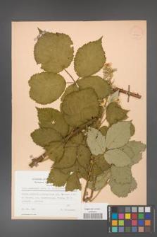 Rubus grabowskii [KOR 25596]