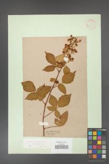 Rubus grabowskii [KOR 11097]