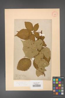 Rubus grabowskii [KOR 11059]