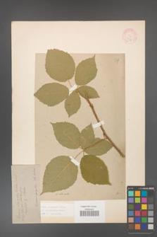 Rubus grabowskii [KOR 11094]
