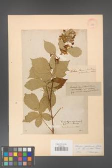 Rubus grabowskii [KOR 11060]