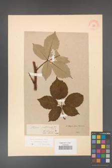 Rubus grabowskii [KOR 11058]