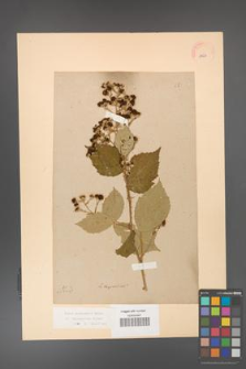 Rubus grabowskii [KOR 11053]